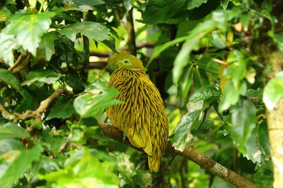 Kula Eco Park: Golden Dove