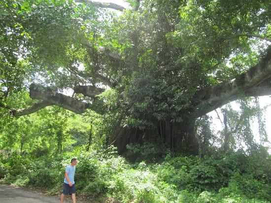 Talk of the Town Tours: MASSIVE tree Omar showed us. So Awesome!