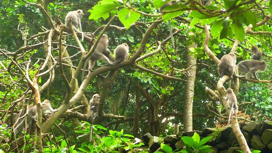 Magilla Bali Tours: Monkey forest4