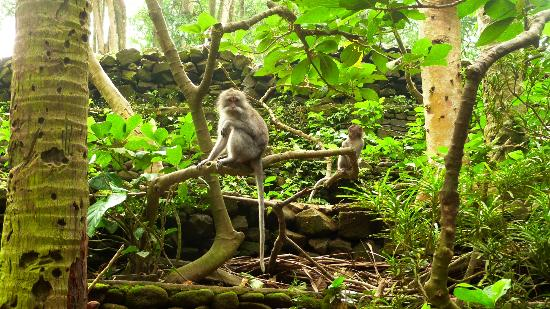 Magilla Bali Tours: Monkey forest5