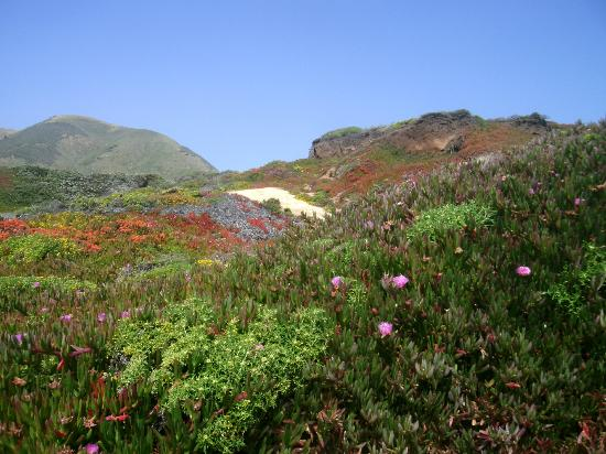 Garrapata State Park: The path meandering through the carpet of flowers at Garrapata.