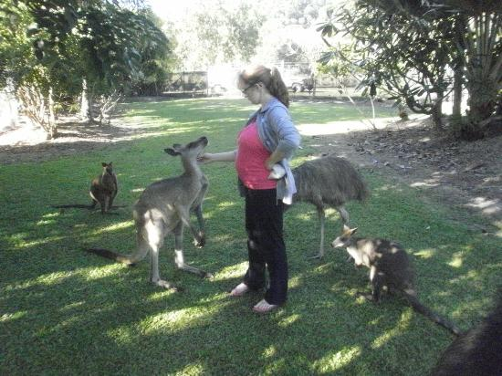Daintree Wild Bed and Breakfast: Friendly kangaroos and emus.