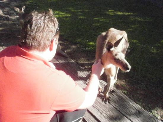 Daintree Wild Bed and Breakfast: Friendly kangaroos.