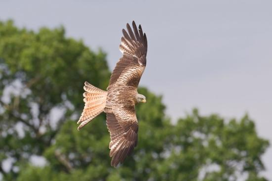 Red Kite Feeding Station & Rehabilitation Centre: red kite