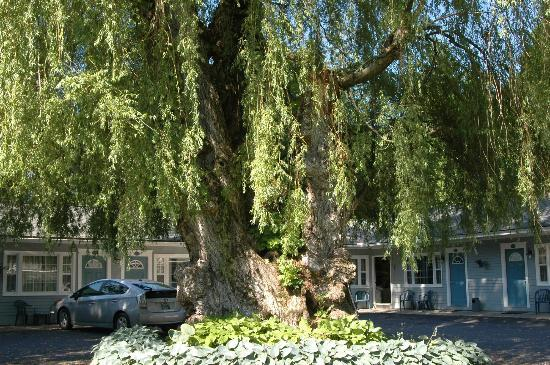 MAPLE TERRACE MOTEL: willow tree in courtyard