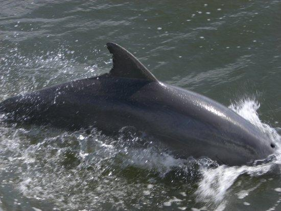 Captain Jack's Kiawah Sailing and Dolphin Watching: Dolphin Swims Over To The Boat