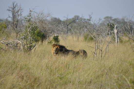 Hlane Royal National Park: Lion en rut