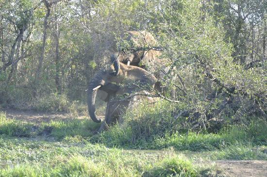 Hlane Royal National Park: Eléphants en plein accouplement