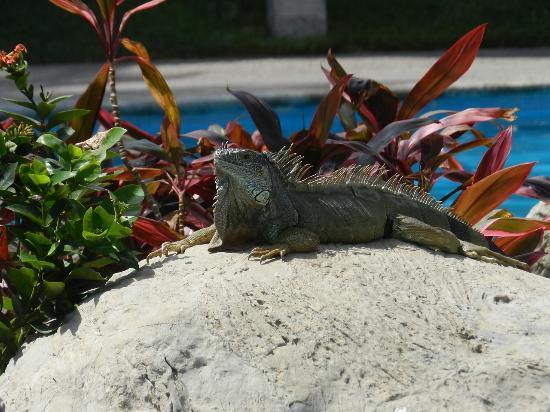 Sea Garden Mazatlan : pool lizard