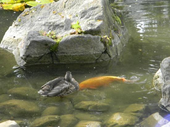 Kasugai Japanese Garden: koe and ducks in pond