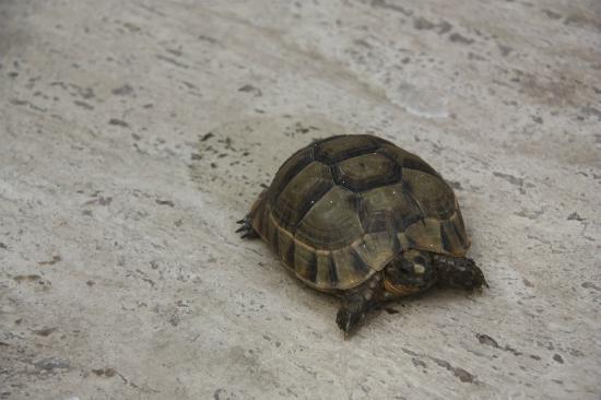 P'tit Habibi: Turtle