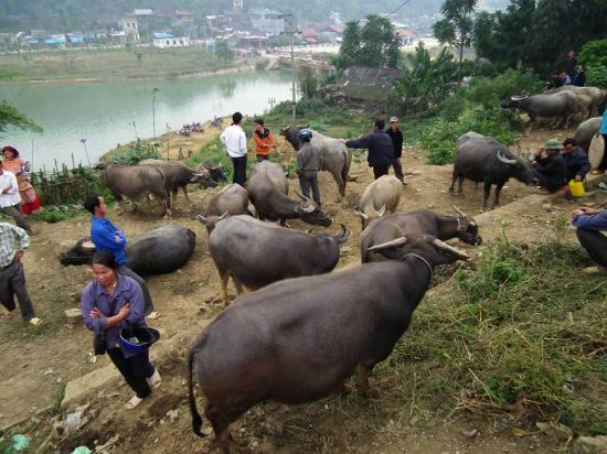 Bac Ha Market: Cattle on the hill behind