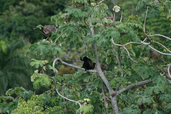Tulemar Bungalows & Villas: Howler monkey