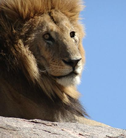 Arusha National Park: A proud male lion