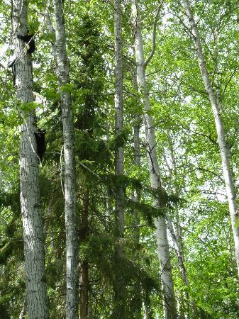 Logpile Lodge: Bären im Baum