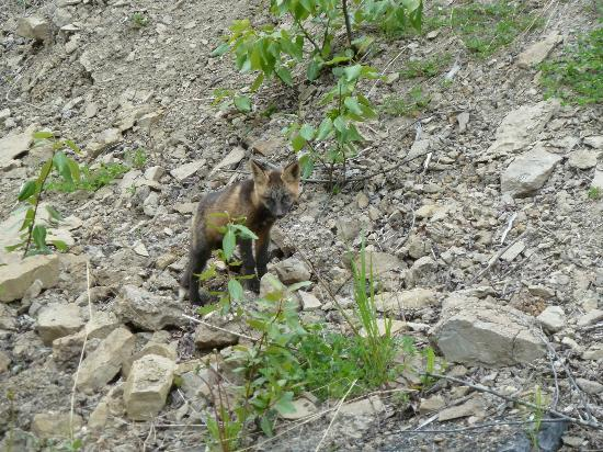 Logpile Lodge: ein kleiner Fuchs