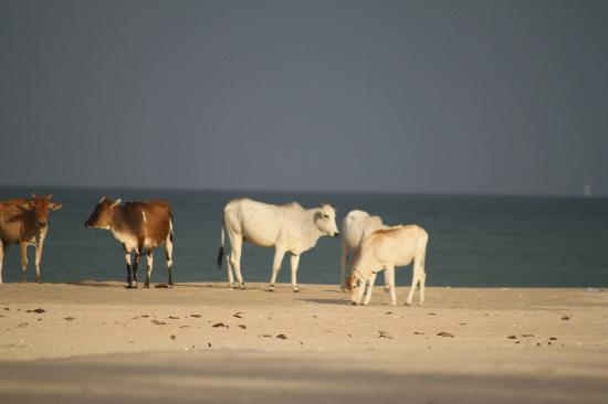 Nilaveli Beach Hotel: Cows hanging on the beach in the evening
