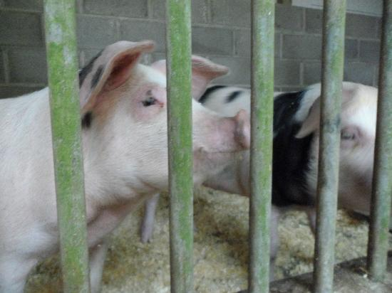 Easthill Farm House: pigs