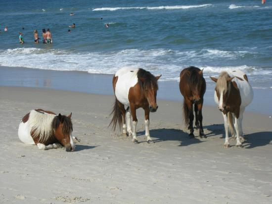 Country Inn & Suites By Carlson, Salisbury: Assateague Island, wild horses.