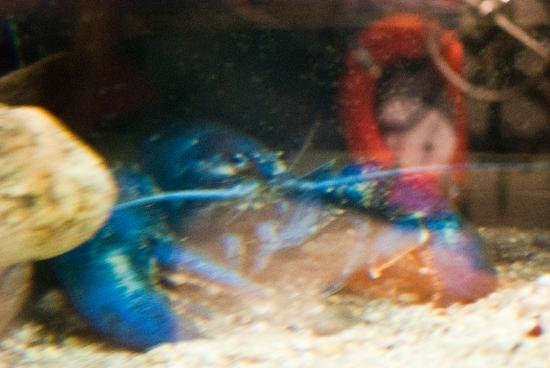 Woods Hole Aquarium: blue lobster