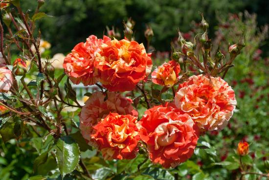 Heritage Museums & Gardens : some of the beautiful roses you can admire