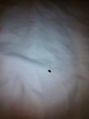 Holiday Inn Express Hotel & Suites Clearwater / US 19N : bed bug