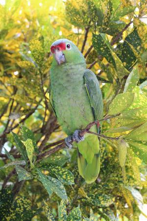 Le Colibri Rouge: Perroquet Vert