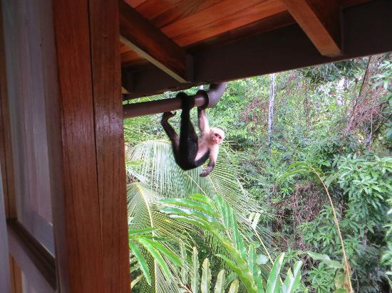 La Paloma Lodge: monkey on the drainpipe