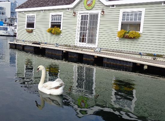 Green Turtle Floating Bed and Breakfast: A swan visited one morning