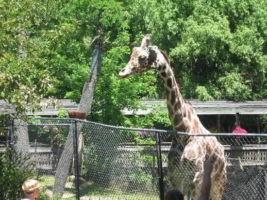 Erie Zoo : Beautiful giraffe