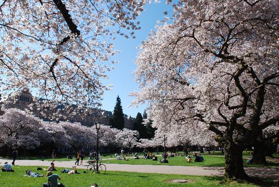 University of Washington: Spring cherry trees