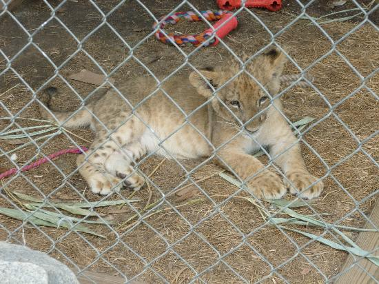 Tiger World: Who can say no to a baby lion!