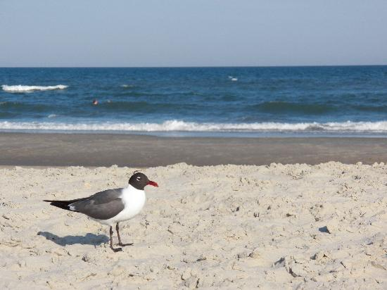 Ocracoke Lifeguarded Beach: Laughing gull on the beach