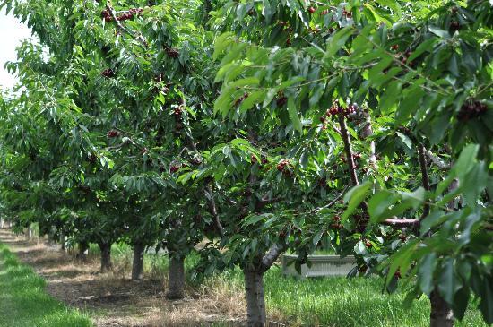 Cherry Chalet: Cherry tree