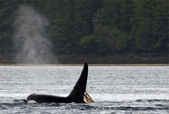 Waterfall Resort Alaska: Orca whales swim by Waterfall Resort