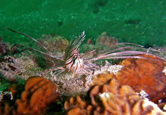 Buccaneer Diving: Juvenile Lion Fish, Photo from my Underwater Photography Speciality.