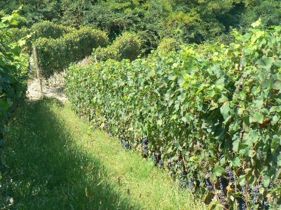 Risveglio in Langa: vigne