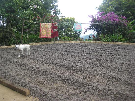 Karangsari Guest House: coffee field at a farm in Munduk (the beans are drying)