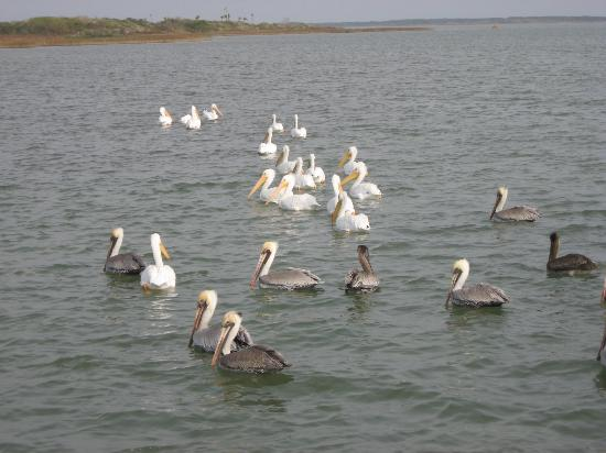 Rockport, TX: Pelicans at Goose Island state park