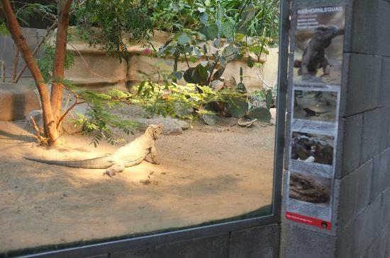 Tierpark Dählhölzli: Leguan im Vivarium