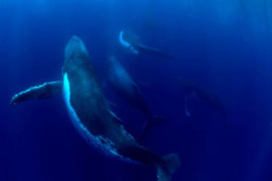 Whale Watch Vava'u Bild