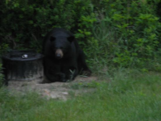 Pemi Valley Moose Tours: black bear