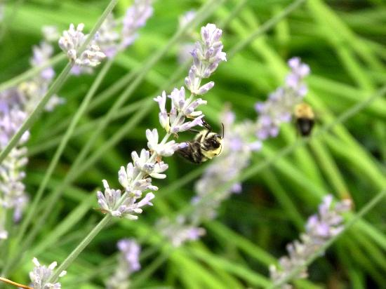 Blue Hen Bed & Breakfast: Bees on the lavender plants outside