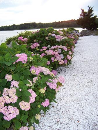 The Inn at Mount Hope Farm: Hydrangeas in bloom