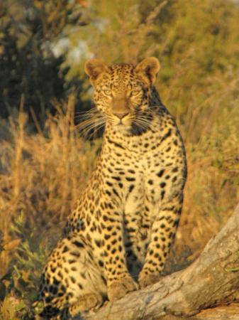 Chitabe Camp: Chitabe Leopard