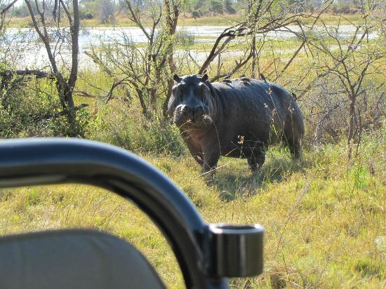 Chitabe Camp: Hippo close encounter