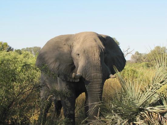 Chitabe Camp: Chitabe Elephant