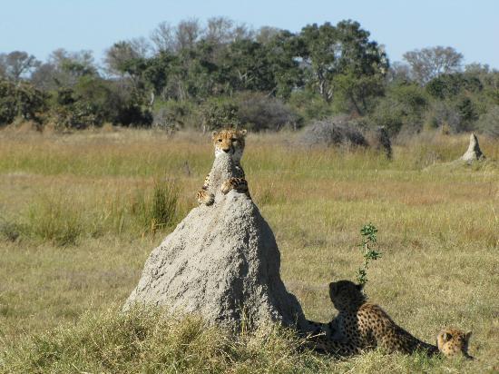 Chitabe Camp: Chitabe Cheetahs