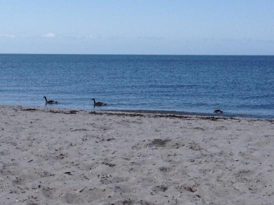 Kalmus Beach Ma Geese In The Ocean