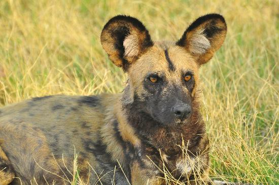 Wilderness Safaris DumaTau Camp : Wild dog